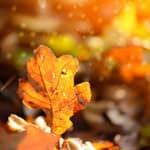 Bild zeigt das Blatt einer Eiche das im Herbst auf dem Boden gefallen ist