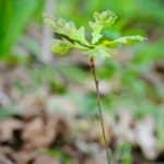 Dieses Bild zeigt einen neuen Eichenbaum