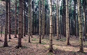 Kleine Baumkunde: Allgemeines über Kiefernarten
