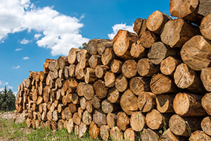 Kiefer als Holz mit markanten Eigenschaften