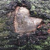 Massivholzdielen aus Eichenholz